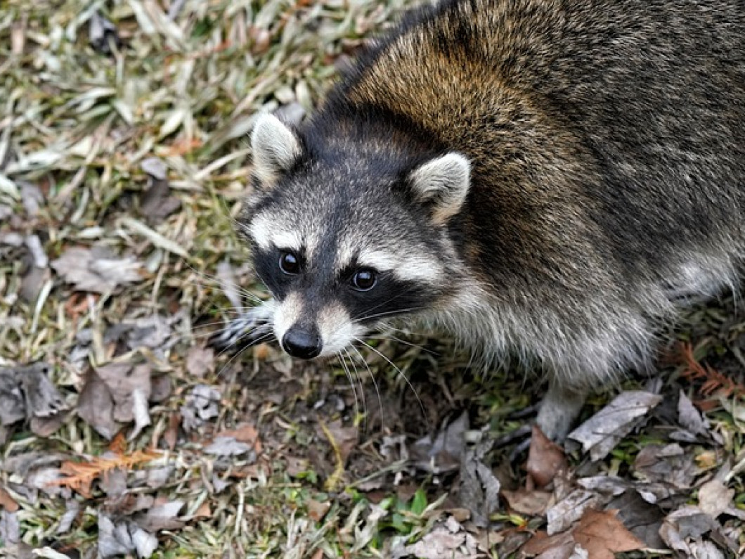 3 reasons to have a raccoon removed from your property