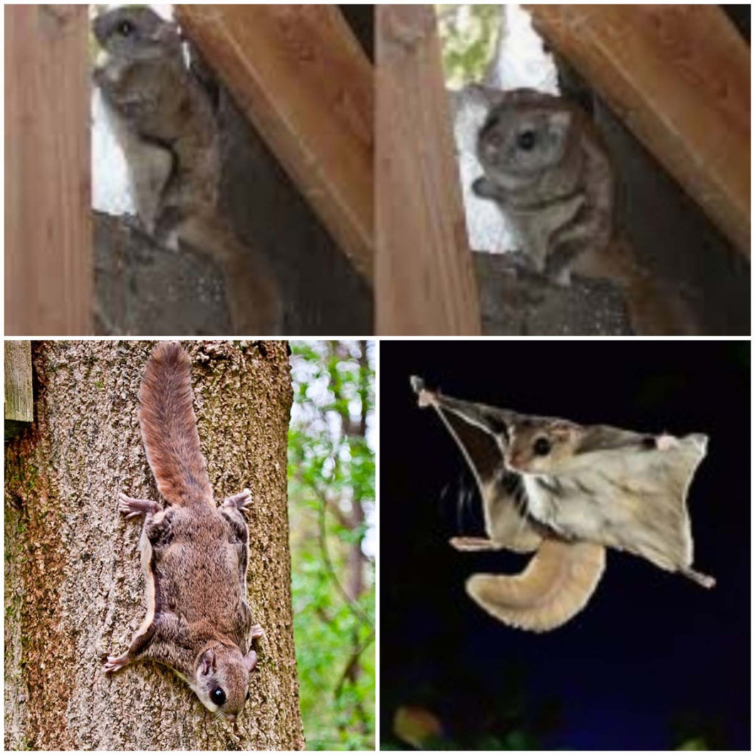 PROTECT YOUR HOME FROM FLYING SQUIRREL DAMAGE