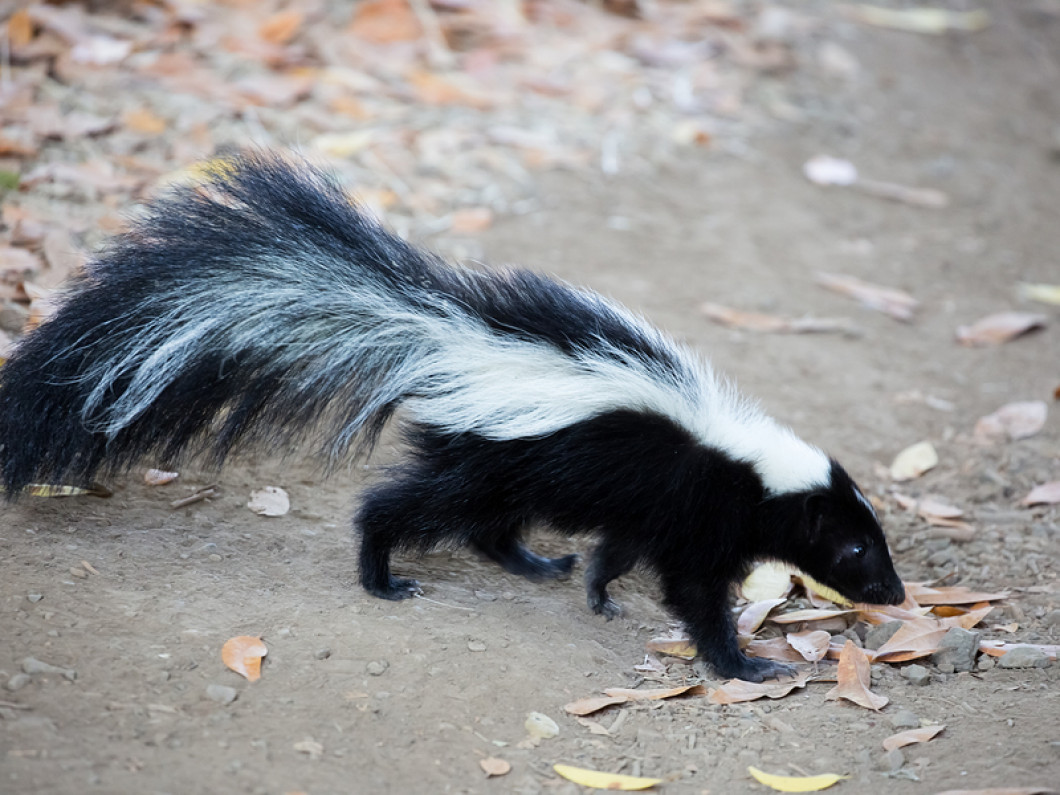 IF IT SMELLS LIKE A SKUNK...IT'S A SKUNK