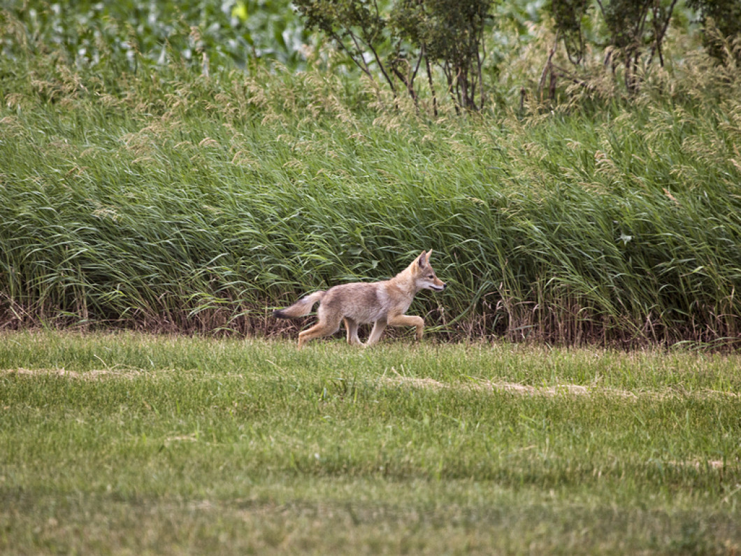 HAVE COYOTES INVADED YOUR SPACE?