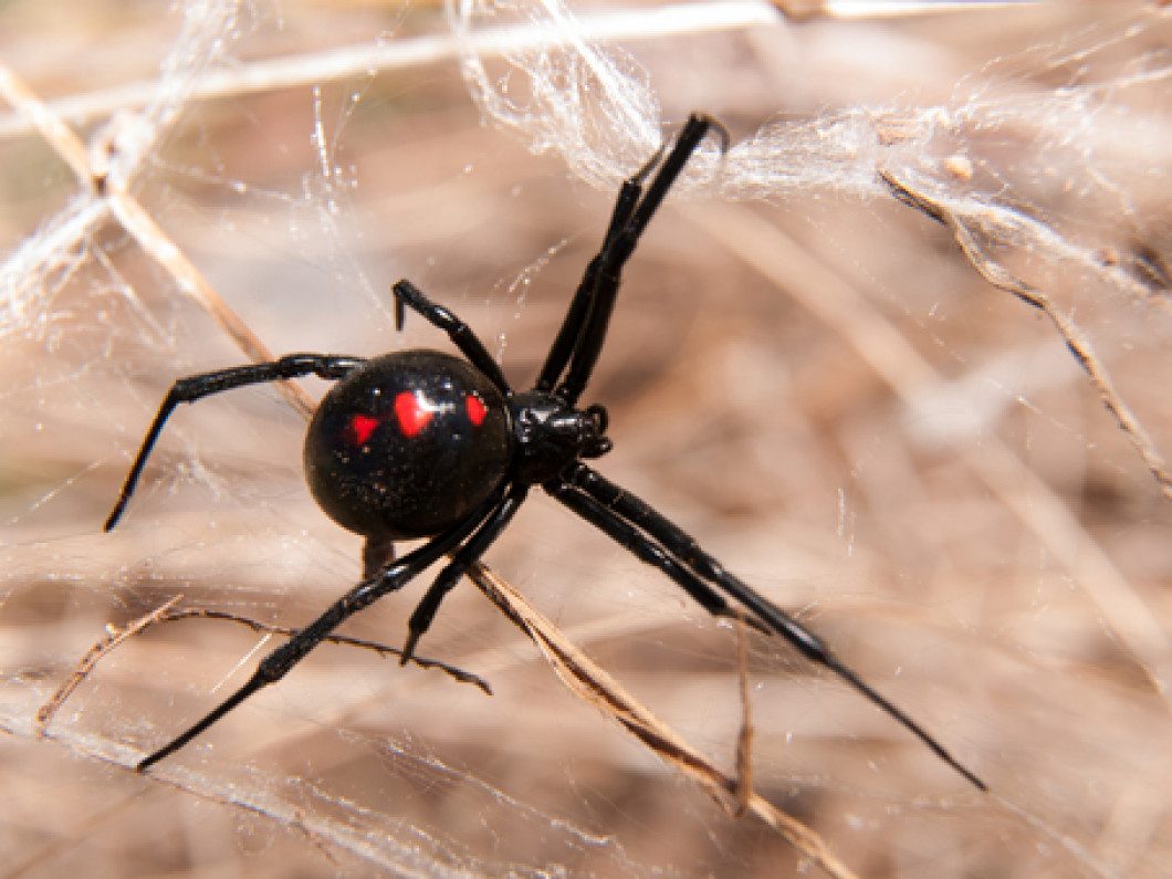 What are the most common types of spiders we exterminate?